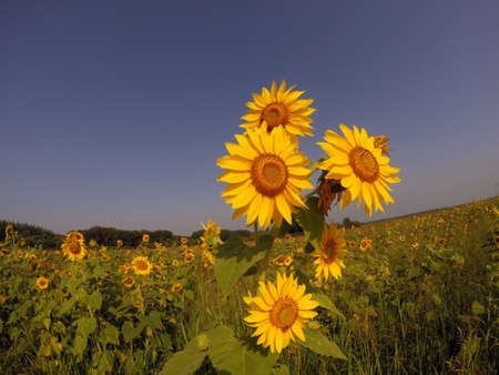 Golden sunflowers against the clear sky. photo