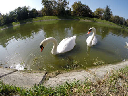 Two white swan enjoys the water grass found in lake. photo