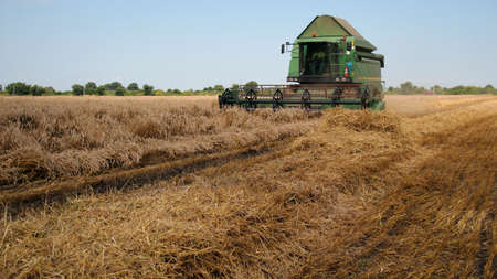 threshing: Combine harvester at work in the field of ripe wheat