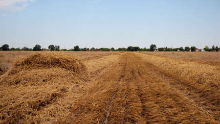 Wheat field after harvest photo