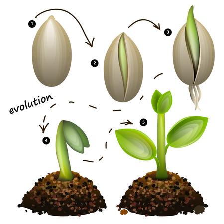 plantando un arbol: Etapas de crecimiento de las plantas. Aislado en el fondo blanco