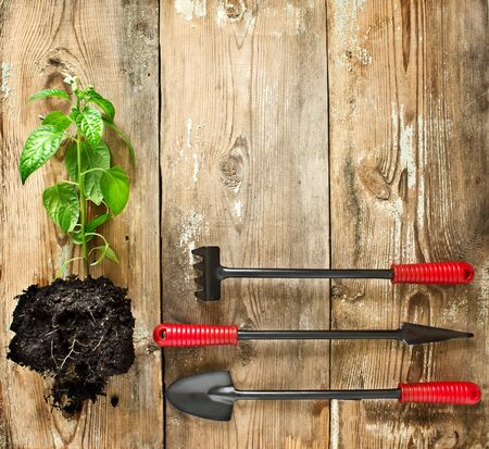 clod: Seedling pepper with a clod of earth, a shovel and a rake on a wooden background