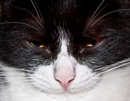 Portrait of a well-fed, sleepy cat Stok Fotoğraf