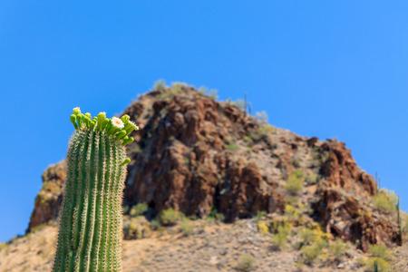 saguaro cactus: Arizonan Saguaro Cactus in Bloom