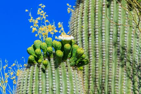 carnegiea: Saguaro Cactus in Bloom  Arizona Stock Photo
