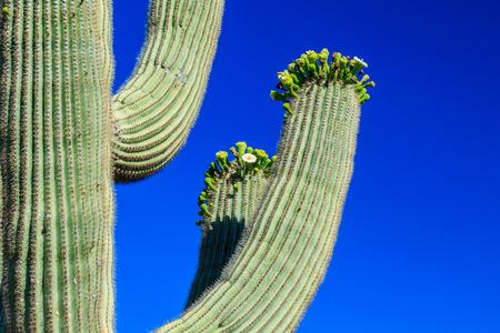 saguaro cactus: Arms of saguaro cactus in bloom,  Arizona