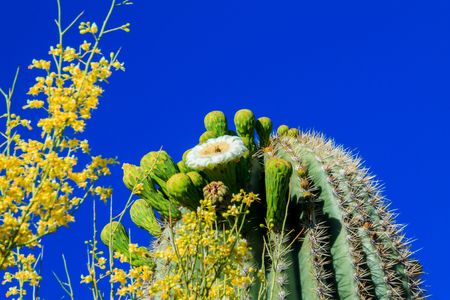 saguaro cactus: Saguaro Cactus in Bloom  Arizona Stock Photo