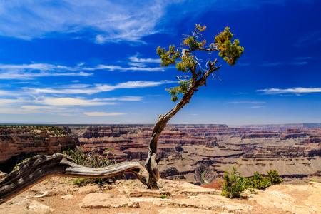 colorado river: A Solitary tree atop the Grand Canyon, overlooking the Colorado River.
