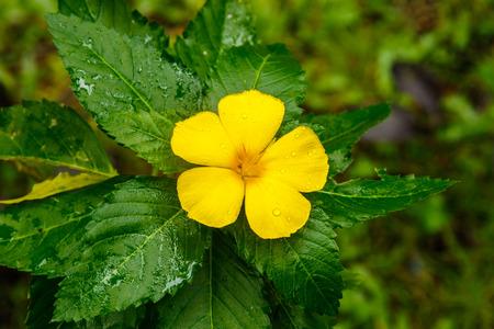 turnera: Turnera Ulmifolia (Sage Rose) blossom on Koh Kood, Thailand