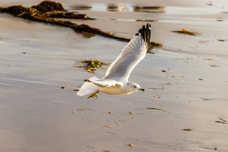 laguna: Ring-Billed Gull flying on the shore at Laguna Beach, California Stock Photo