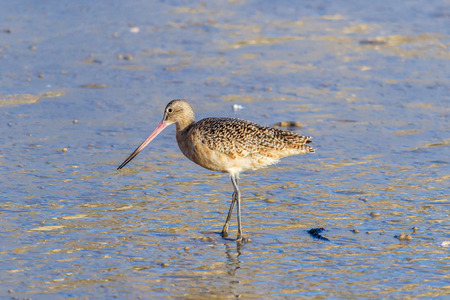 laguna: Marbled Godwit on the shore at Laguna Beach, California
