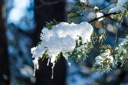 Snow and icicles on branch of Ponderosa Pine in Arizona