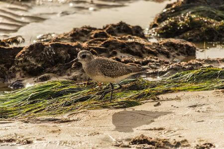 Sandpiper (Sanderling) on the California beach.