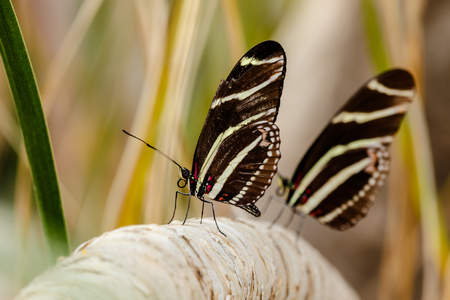 Two Zebra Longwing butterfliesw on a tree branch