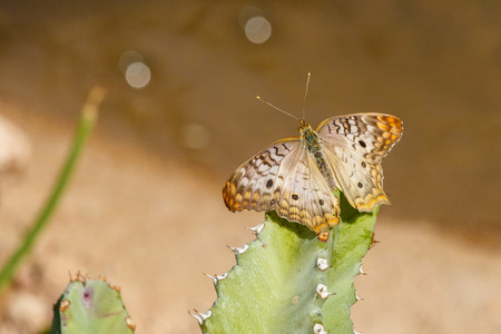 White Peacock Butterfly on top of cactus