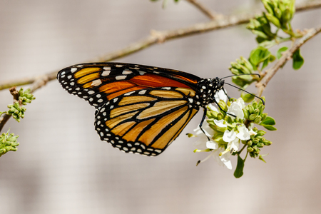 Queen butterfly perched on a branch, feeding on white flowers,