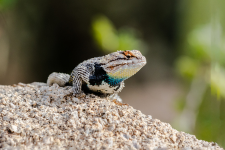 Desert Spiny Lizard (sceloporus magister) on a granite rock, with brightly colored scales, in Arizona's Sonoran desert.