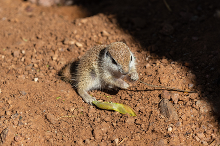 Young Round-tailed ground squirrel sitting on haunches, chewing on a small brown twig.