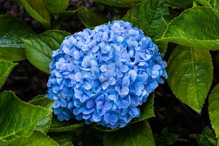 Vivid blue Hydrogena blossom after morning rain; drops on petals. Green leaves in background. On Hawaiis Big Island. 版權商用圖片