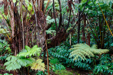 Hawaiian rainforest on the Big Island of Hawaii in the early morning after a light rain. Ferns, palm trees and other native flora are shown.