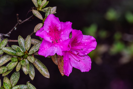 Pair of vividly pink Azalea flowers (rhododendron indicum) on Hawaii's Big Island. Raindrops on the petals from recent rain. Near Volcano National Park.