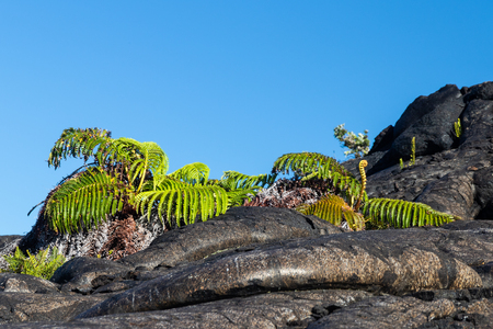 Pair of green ferns growing out of dark pahoehoe lava. Blue sky is in the background. Near Chain of Craters Road in Volcano National Park, Hawaii.
