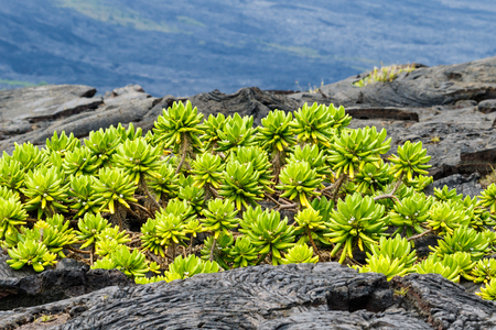 Beach Naupaka plant (scaevola taccada) growing on black volcanic lava near shoreline on the Big Island of Hawaii. Volcano National Parks Chain of Craters Road.