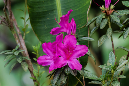 Vividly pink Azalea flowers (rhododendron indicum) in Akaka Falls State Park, Hilo, Hawaii. Green plants in background.