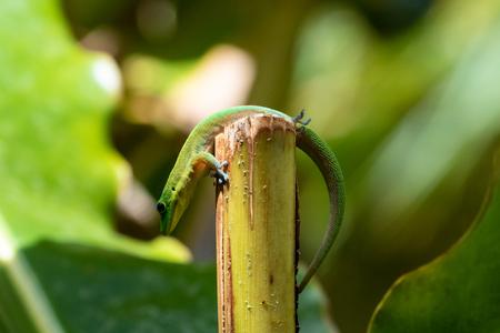 Gold dust day gecko (phelsuma laticauda) on top of a broken parlm shoot, in the Hawaiian Big Islands Akaka Falls state park. Originally from Madagascar, it is an invasive species in Hawaii.