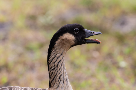 Nene, also called Hawaiian goose (Branta sandvicensis), on the Big Island of Hawaii; closeup of head with mouth open.