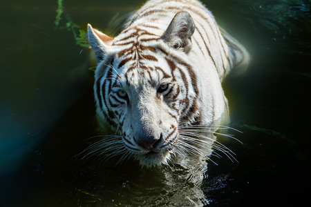 White Bengal tiger (Panthera tigris) in water. Closeup view of its head; it is looking directly into the camera.