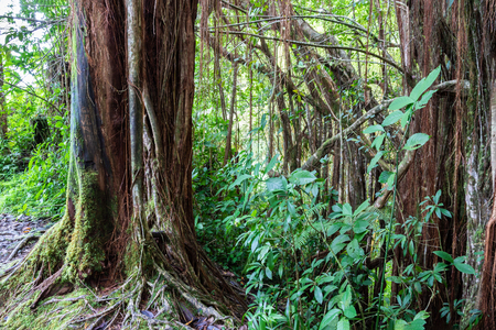 Tropical rainforest in Akaka falls state park, on Hawaiis Big Island. Banyan trees, vines and other foliage with rocks and boulders.