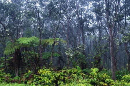 Tropical rainforest on Hawaii's Big Island. Lush green vegetation on ground; Barren trees above. Mist from rainstorm in the background.