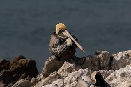 California Brown Pelican (Pelecanus occidentalis), standing on rock near Malibu, California. Looking at camera. Pacific ocean in background.