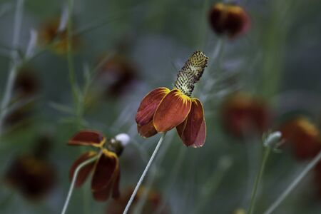 Close-up of Mexican Hat Flower (Ratibida columnifera); other blossoms in the background.