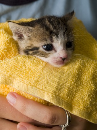 Stock photo of a very young five week old Manx kitten looking out at the world after a bath. Stock Photo