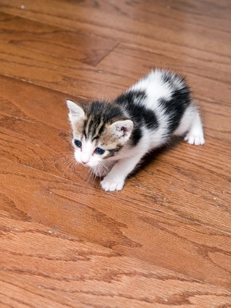 A very young five week old Manx kitten exploring a wood floor. photo
