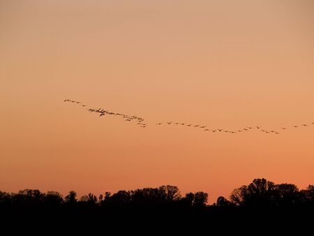 Stock photo of a flock of geese heading South for the winter over the Mississippi at sunset. photo