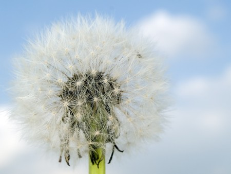 Stock macro photo of the texture of the interior of a dandelion puffball. photo