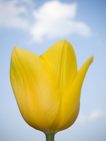 stock photo   tulip: Stock macro photo of a yellow tulip reaching up for the blue sky above.