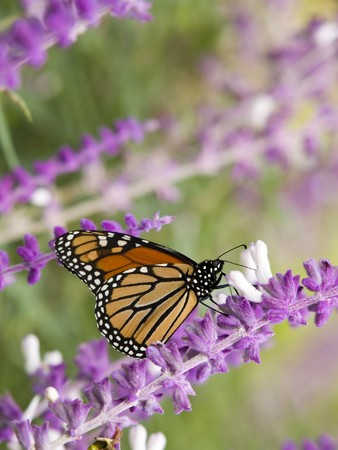 Stock photo of a Monarch Butterfly sipping nectar from a purple flower. photo