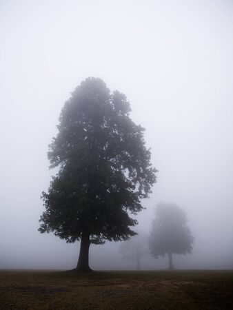 A group of tall trees on a foggy morning.