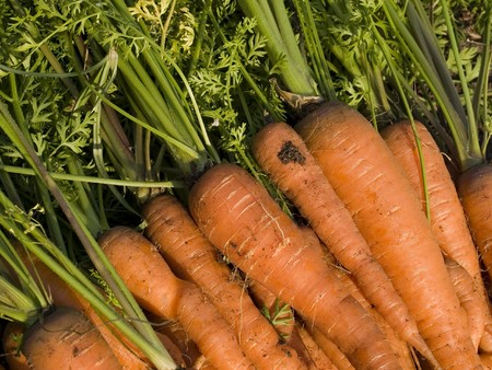 Organically grown carrots fresh from the ground in a pile with green leafy tops.
