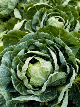 Stock photo of a brussels sprout plant growing in an organic vegetable garden.
