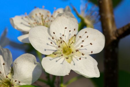 The small white flowers of the Le Conte pear tree posess both staminate and carpellate, and are pollinated by insects.