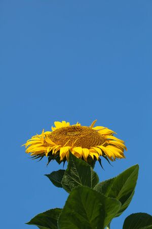 giant sunflower: A summery background of a giant sunflower facing up to the sun against a brilliant blue sky with great upper copyspace. Stock Photo