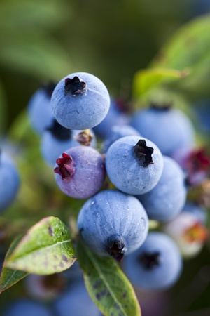 Wild blueberries growing in a vast open field in Maine.