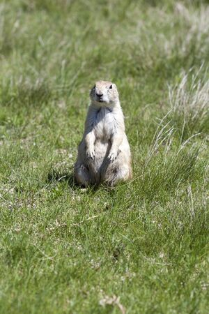 Black-tailed prarie dogs in their colony just outside Devils Tower National Monument in Wyoming.