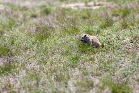 great plains: Black-tailed prarie dogs in their colony just outside Devils Tower National Monument in Wyoming.