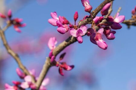 redbud: Stock photo of new growth and blooming flowers on a Redbud tree at the very beginning of the Spring season. Stock Photo